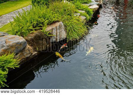 Group Of Fancy Koi Fish In The Pond At Landscaped Japanese Garden