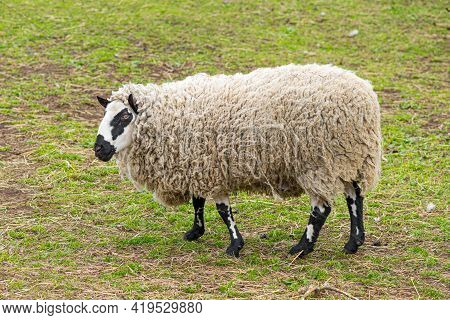 Kerry Hill Sheep, Is A Breed Of Domestic Sheep Originating In The County Of Powys In Wales, Wool Is