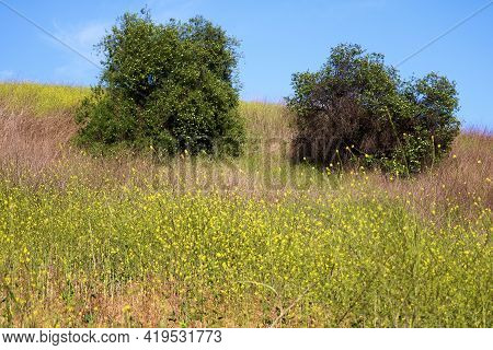Lone Trees On A Lush Hillside Surrounded By Mustard Plant Wildflowers During Spring Taken At A Prair