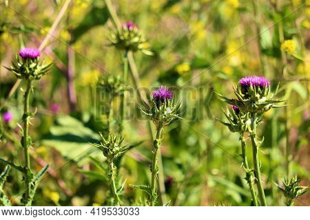 Thistle And Mustard Plant Flower Blossoms During Spring On A Prairie Taken At A Grassy Field In The