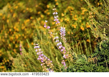 Lupine And Daylily Plant Wildflower Blossoms During Spring On A Lush Plateau Taken At Chaparral Wood