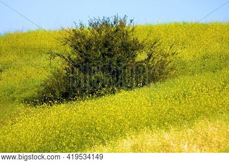 Lone Tree Surrounded My Mustard Plant Flower Blossoms During Spring On A Lush Hillside Taken At A Gr