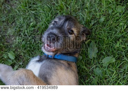 Portrait Of Young Irish Wolfhound On Green Lawn.irish Wolfhound Puppy Relaxing, Has Fun In The Park.