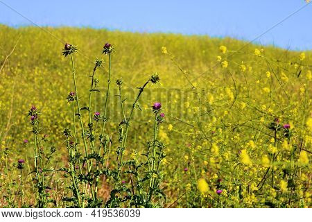 Thistle And Mustard Plant Flower Blossoms During Spring Taken On A Lush Hillside At A Prairie In The