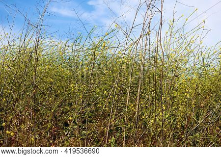 Rural Field Of Mustard Plant Wildflowers During Spring Taken On A Prairie At A Grassy Field In The L