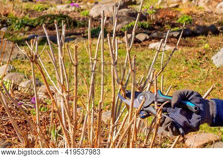 Spring Pruning With Hand Pruning Shears Of A Tree Hydrangea Bush In The Garden.