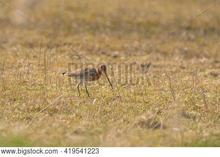 Male Black-tailed Godwit Standing On Reeds. Looking For Food While Walking, Green Grass In Foregroun