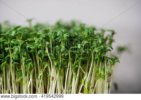 Micro Greens Garden Cress Close Up On Grey Background