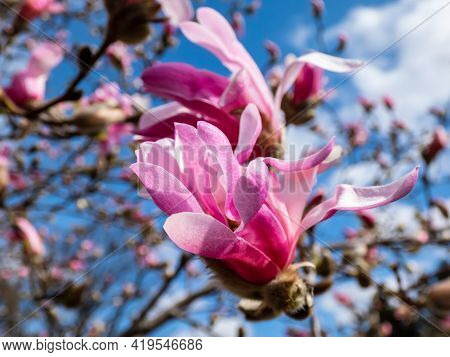 Pink Star-shaped Flowers Of Blooming Star Magnolia - Magnolia Stellata Cultivar 'rosea' With Bright