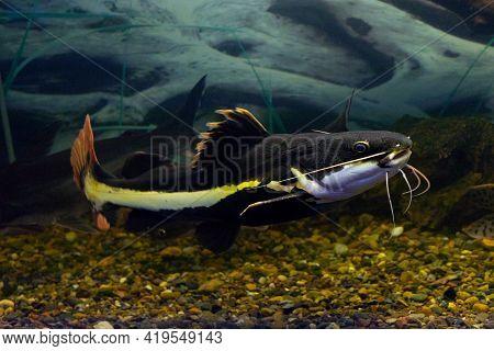 Red-tailed Catfish Phractocephalus Hemioliopterus On Natural Background