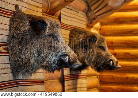 Heads Of A Stuffed Wild Boar On The Wooden Wall In Hunter House.