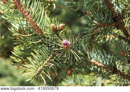 Young Red Fir Buds On Spruce Branches Close Up. Spring Season. Blossom Fresh Fir Buds - Healthy Drug