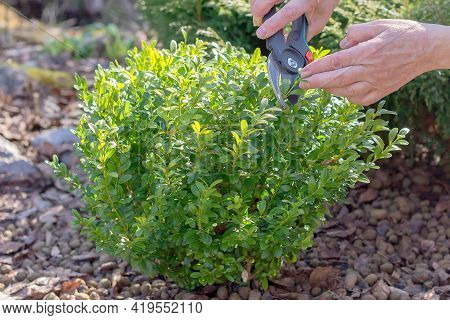 Pruning A Boxwood Plant With Pruning Shears To Form The Crown Of The Bush.