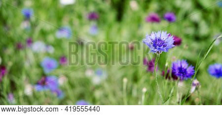 Summer Cornflower Centaurea Cyanus Blue Flower Web Banner. Blooming Colorful Cornflowers. Glade Of C