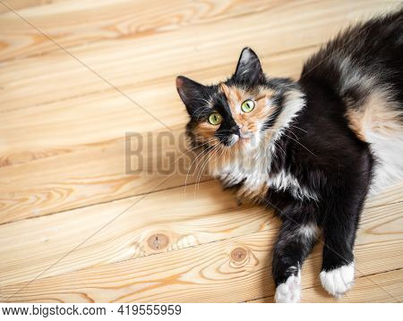 Three-color Orange-black-and-white Young Cat Is Lying On Wooden Floor And Looking At Camera.