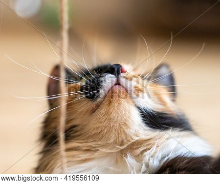 Cute Three-color Orange-black-and-white Young Cat Looking Up To Rope Close Up.