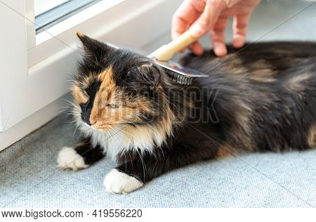 Womans Hand Combing Lying On Windowsill On Grey Litter Domestic Long-haired Three-color Pleased Cat