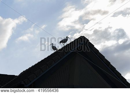 Two White Ibis On Peak Of Roof Gable In Silhouette