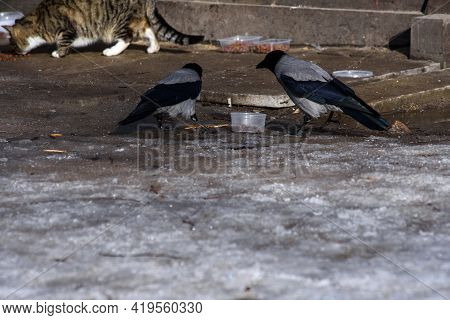 Brazen Crows Are Stealing Dry Food Prepared In A Park For Homeless Street Cats. Early Spring In Apri