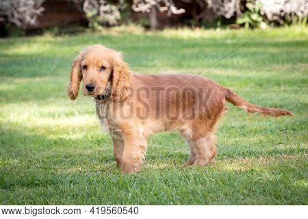 Small cocker spaniel dog with a beautiful blonde hair on the green grass