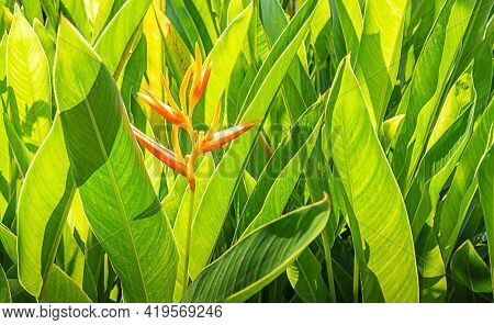 Colorful Tropical Flower, On The Green Leaves Background.