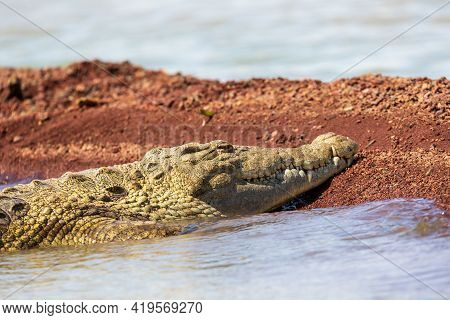 Nile Crocodile Partially On Bank. Crocodylus Niloticus, Largest Fresh Water Crocodile In Africa, Is