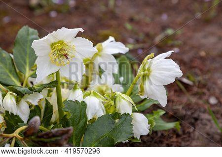 A Lush Bush Of White Hellebore Grows In The Garden.