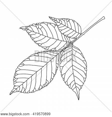 Ash Tree Leaf Line Drawing With Decorative Veining Isolated On White Background. Vector Illustration