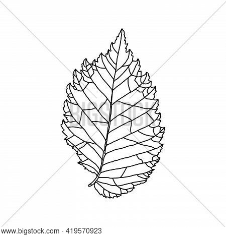 Stylized Drawing Of Leaf Of An Elm Tree With Decorative Veins Isolated On A White Background. Vector