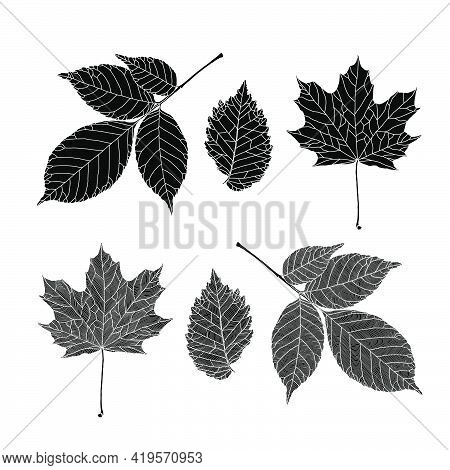 Set Of Silhouettes Of Leaves Of Various Trees. Ash, Maple, Elm Leaves In A Veined Line Graphic On Wh