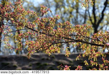 Vigorous Japanese Maples\none Of The Best-known Species, Which We Rank Among The Japanese Maples, Is