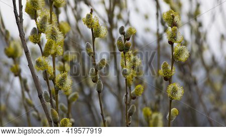Pussy Willow On The Branch, Blooming Verba In Spring Park. Palm Sunday Symbol, Twig With Catkins. De