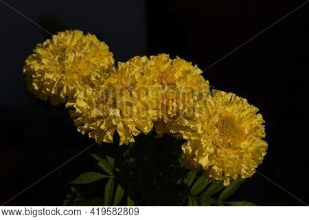 Picture Of Isolated Yellow Marigold Flower In Light.