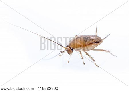 Image Of Brown Forest Cockroach On White Background. From Side View. Insect. Animal
