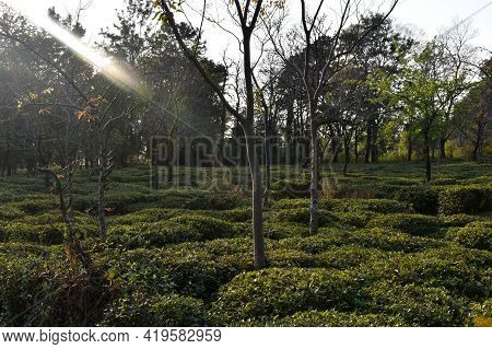 Picture Of Kangra Tea Plants. Himachal Pradesh, India.