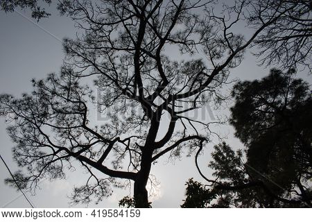 Picture Of Scary Indian Pine Tree In Evening