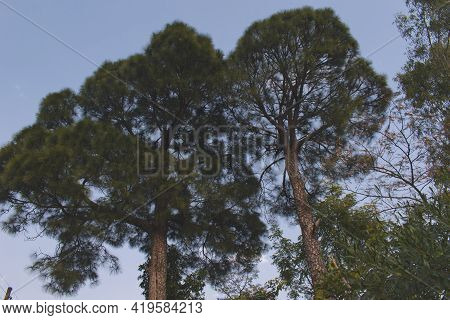 Picture Of Two Indian Pine Trees Or Pinus Roxburghii.