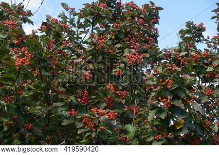 Many Berries In The Leafage Of Sorbus Aria In October