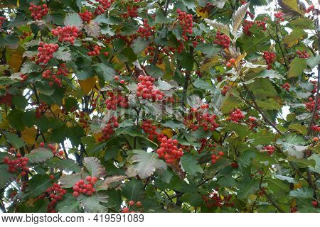 Multiple Red Berries In The Leafage Of Sorbus Aria In October