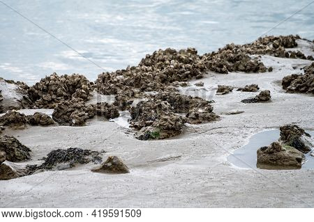 Group Of Live Oysters Shellfish Growing On Stones At Low Tide In North Sea, Zeeland, Netherlands