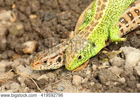 The Sand Lizard, Lacerta agilis couple. This predators in gardens help remove pest insects.  Animals in greenhouse for organic growing.