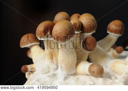 Micro Growing Of Psilocybe Cubensis On Black Background. Mycelium Block Of Psychedelic Psilocybin Mu