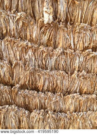 Curing Burley Tobacco. Tobacco Leaves Drying. Tobacco Leaves To Incubate Tobacco Leaves Naturally. S