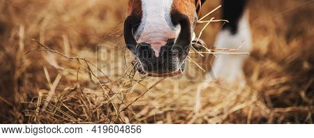 The Muzzle Of A Bay Horse With A White Spot On Its Nose, Which Eats Dry Harvested Hay On A Sunny Day