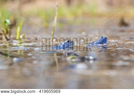 Blue Frog - Frog Arvalis On The Surface Of A Swamp. Photo Of Wild Nature.