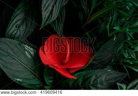 Red Flower Green Leaves Macro Garden Top View