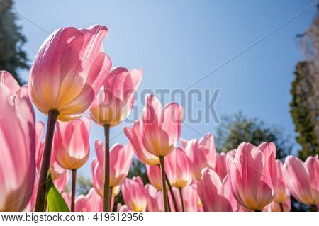 Bright Pink Tulips On Blue Sky Background. Colorful Spring Composition. Beauty In Nature.