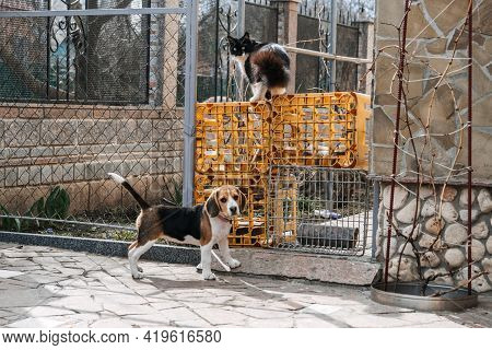 Beagles And Cats, Household Pets. Introducing Beagle Puppy To Cat. Little Puppy Beagle Breed Running