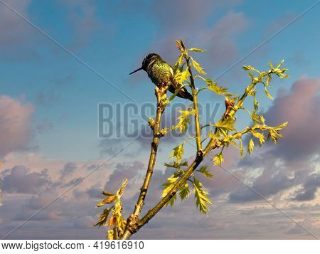 Male Anna's Hummingbird Is Perched On The Branch With Yellow Flowers