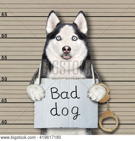 A Dog Husky Criminal Has A Sign Around His Neck That Says Bad Dog. Lineup Beige Background.
